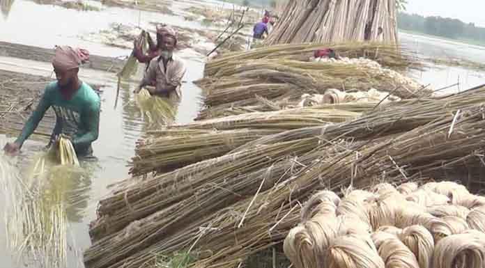 যশোরে পাটের দাম ভালো পাওয়ায় খুশি কৃষকরা   Adhunik Krishi Khamar